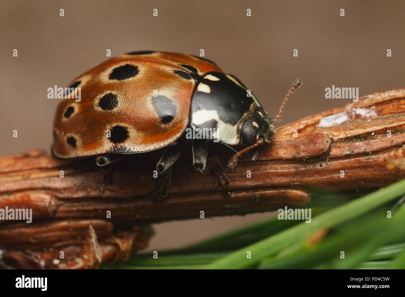 eyed-ladybird-anatis-ocellata-resting-on-conifer-branch-tipperary-ireland-PD4C5W.jpg