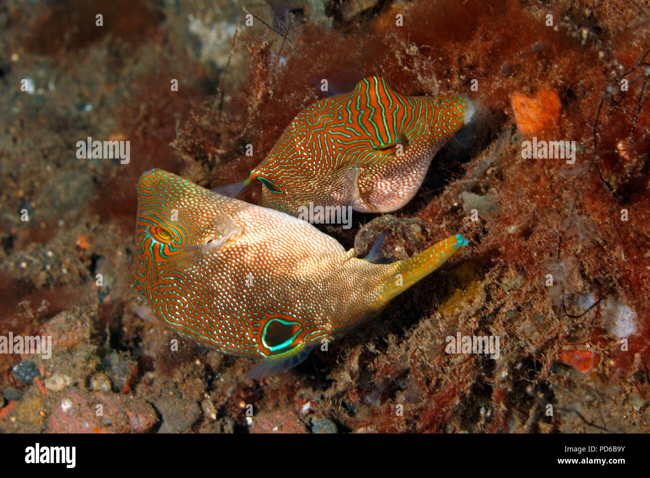fingerprint-toby-also-known-as-compressed-toby-fingerprint-sharpnose-puffer-fine-spotted-pufferfish-canthigaster-compressa-see-below-for-more-PD6B9Y.jpg