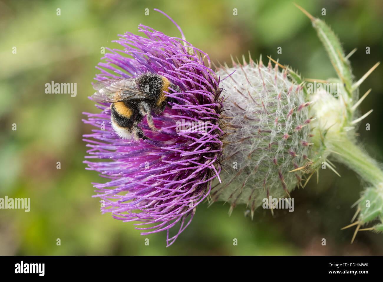bombus-lucorum-the-white-tailed-bumblebee-nectaring-on-a-purple-thistle-PDHMW0.jpg