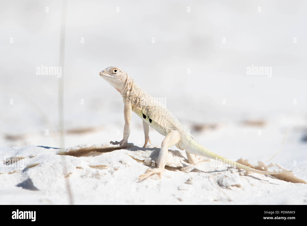 Bleached Earless Lizard, (Holbrookia maculata ruthveni), White Sands National Monument, New Mexico, USA. Stock Photo