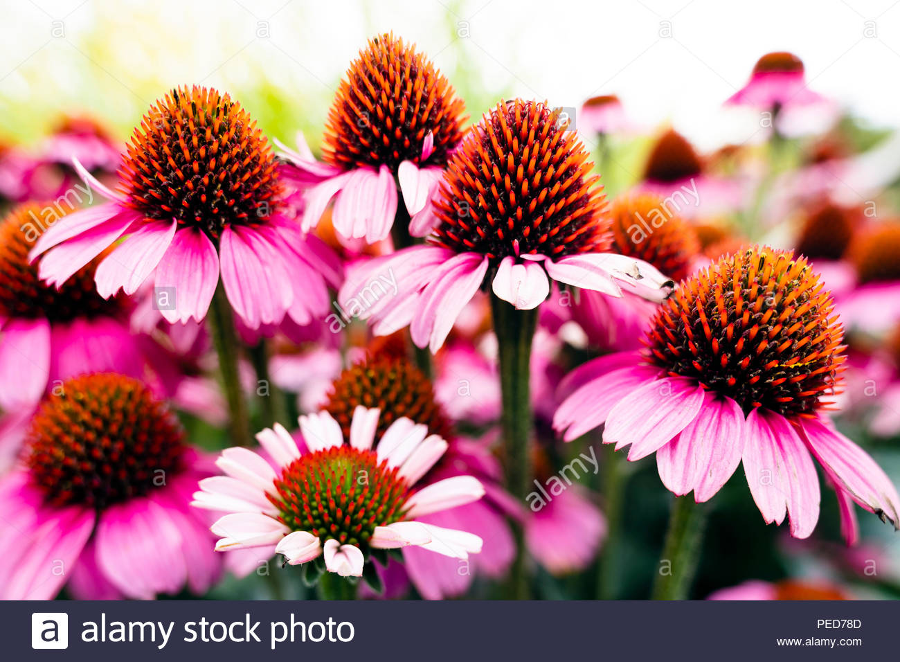 Echinacea flowers, UK. Coneflower garden plant. Stock Photo