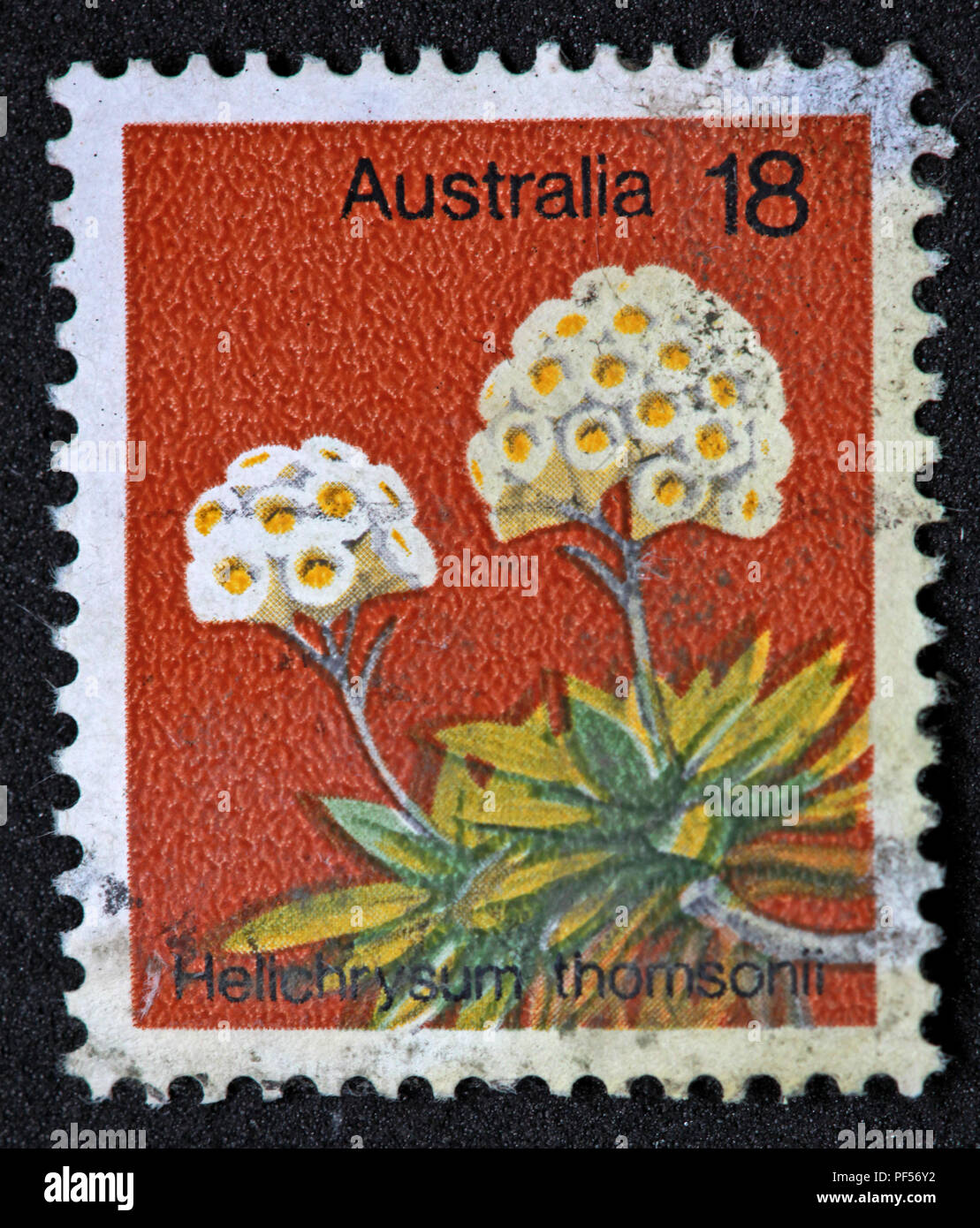 Gotonysmith,@Hotpixuk,Hotpixuk,rare old stamps,used stamps,Postal,letters,letter,communication,print,analogue,historic stamps,Helichrysum Thomsonii plant,flower,Helichrysum Thomsonii flower,Helichrysum,Thomsonii,Australian stamp,used Australian stamp,Australian postage stamp,used Australian postage stamp