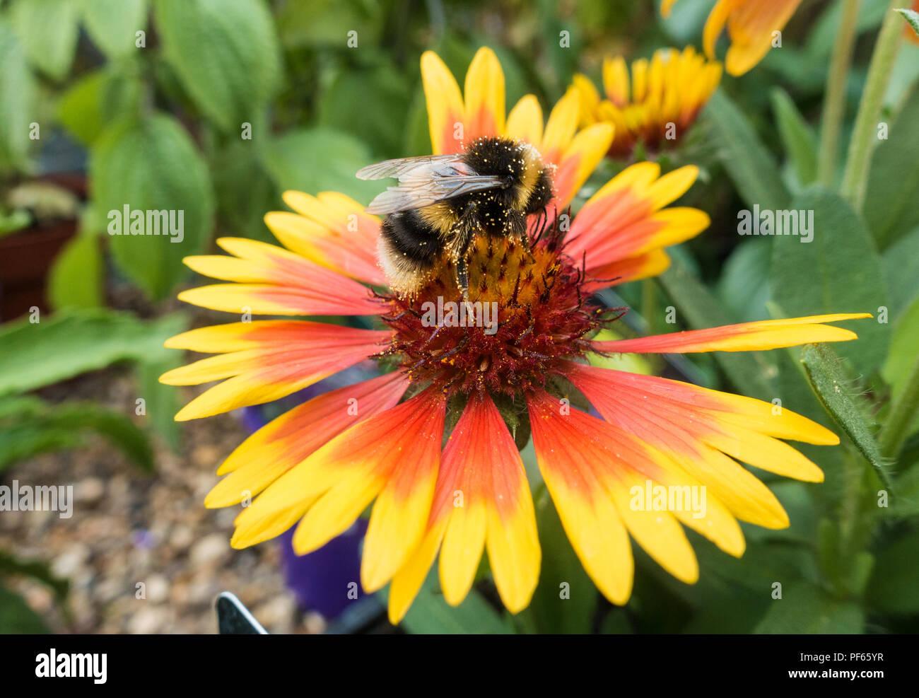 a-bumblebee-on-a-gaillardia-flower-PF65YR.jpg