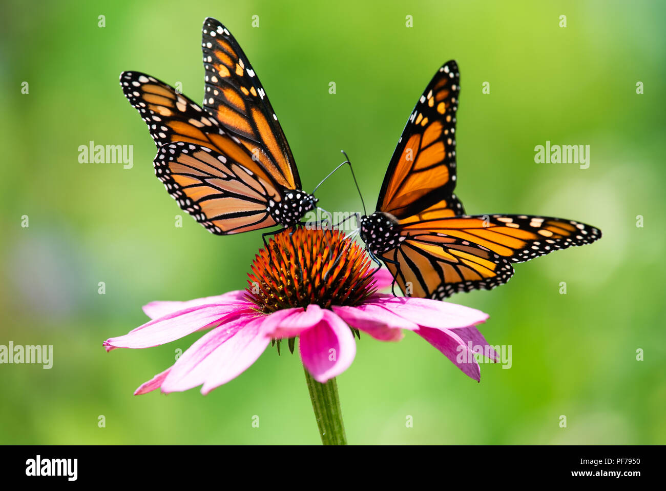 two-colorful-monarch-butterflies-danaus-plexippus-feeding-on-pink-cone-flower-in-the-garden-in-speculator-new-york-ny-usa-PF7950.jpg