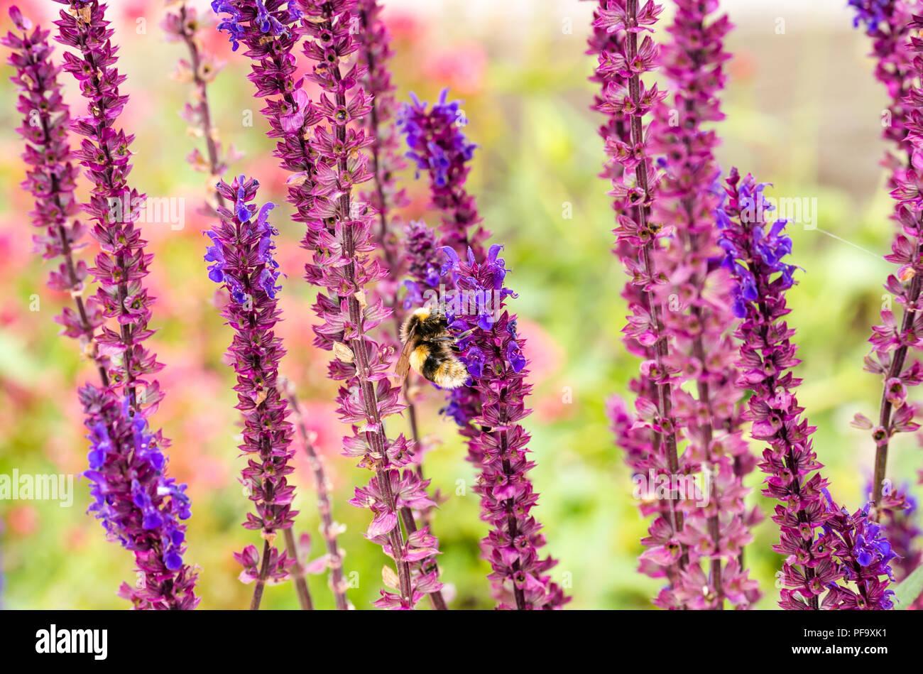 bee-on-coastal-plant-in-garden-of-dunbar
