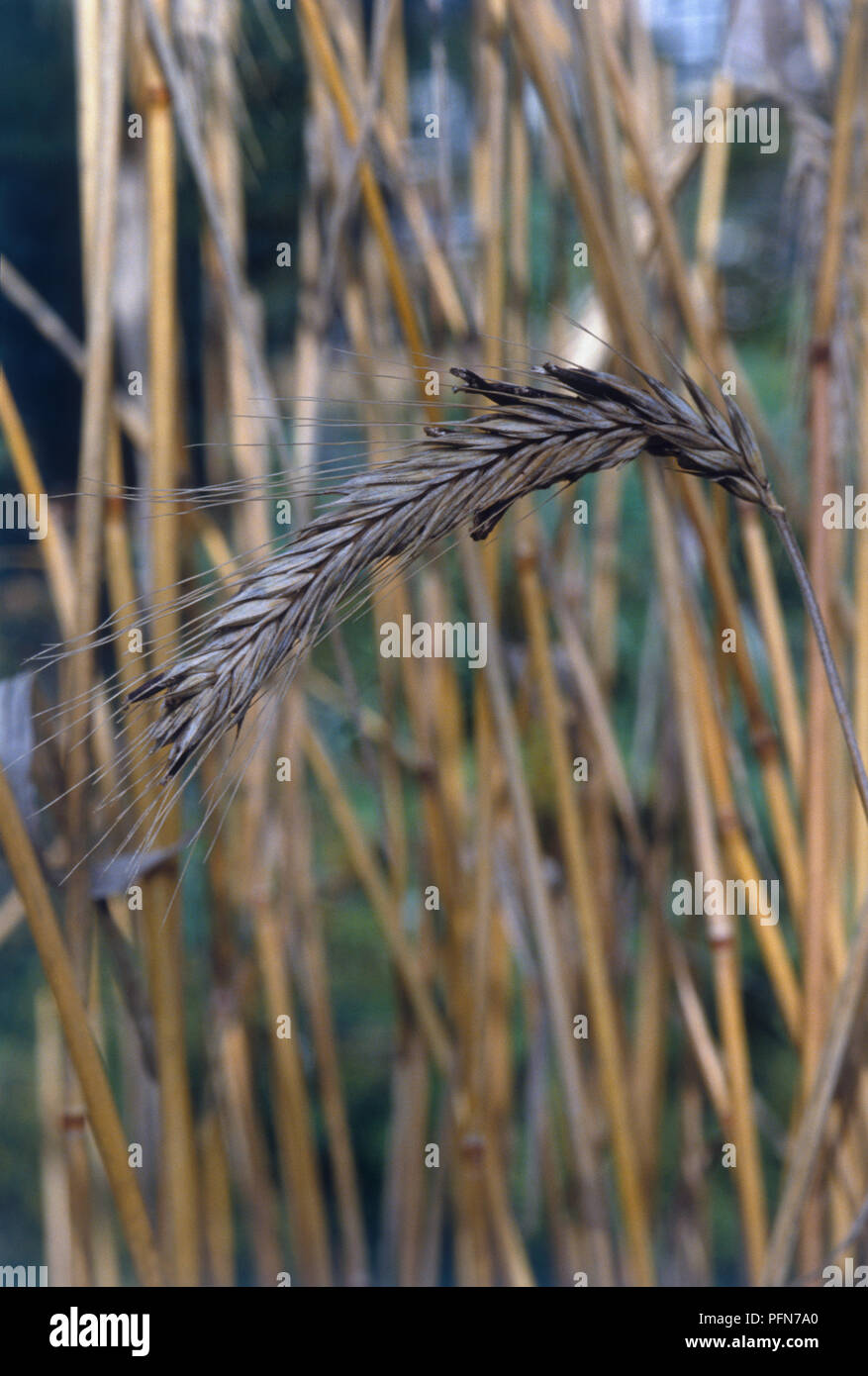 Claviceps purpurea (Ergot), poisonous fungus formed in rye seedheadStock Photo