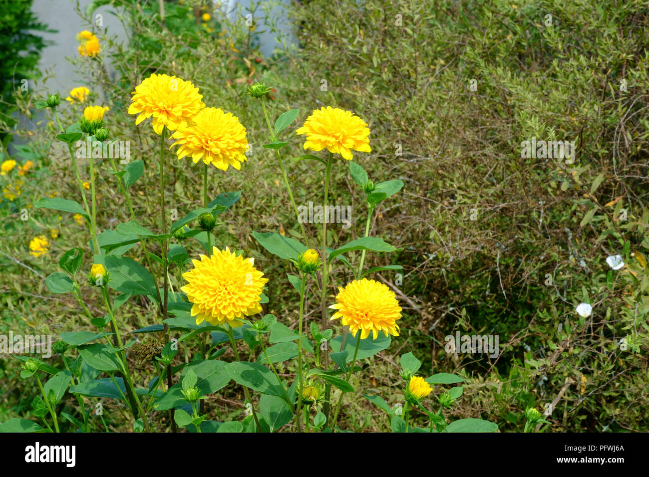 yellow flowers bloom on a bush in a garden in zala county hungaryStock Photo