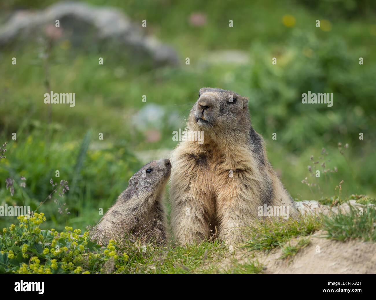 marmot-mom-with-baby-PFX82T.jpg