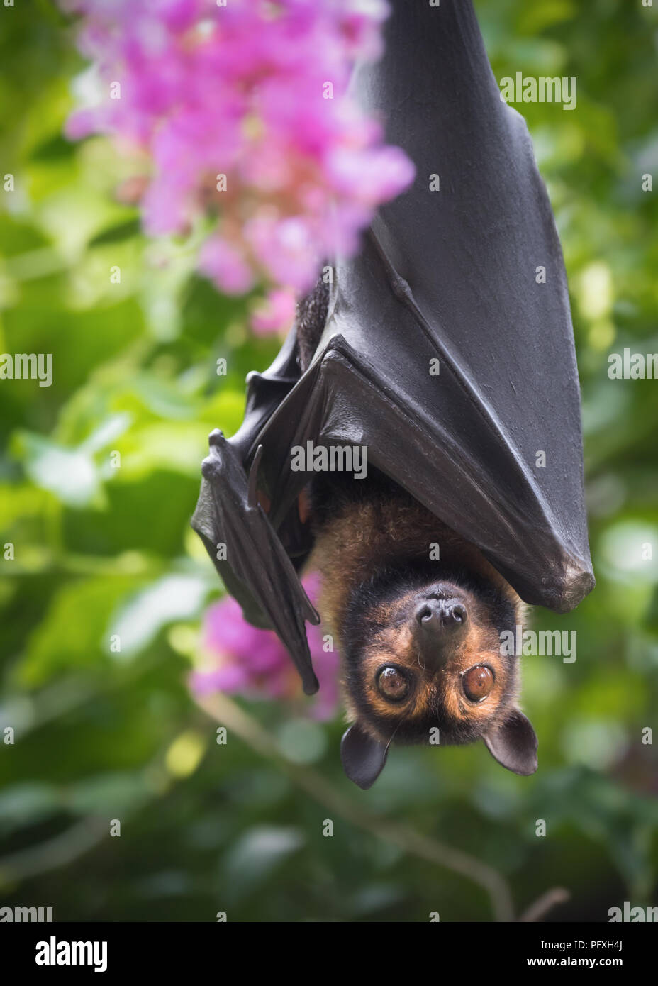 A Spectacled Flying Fox poses with some crepe myrtle at a wildlife rescue centre in Kuranda, Queensland, Australia. Stock Photo