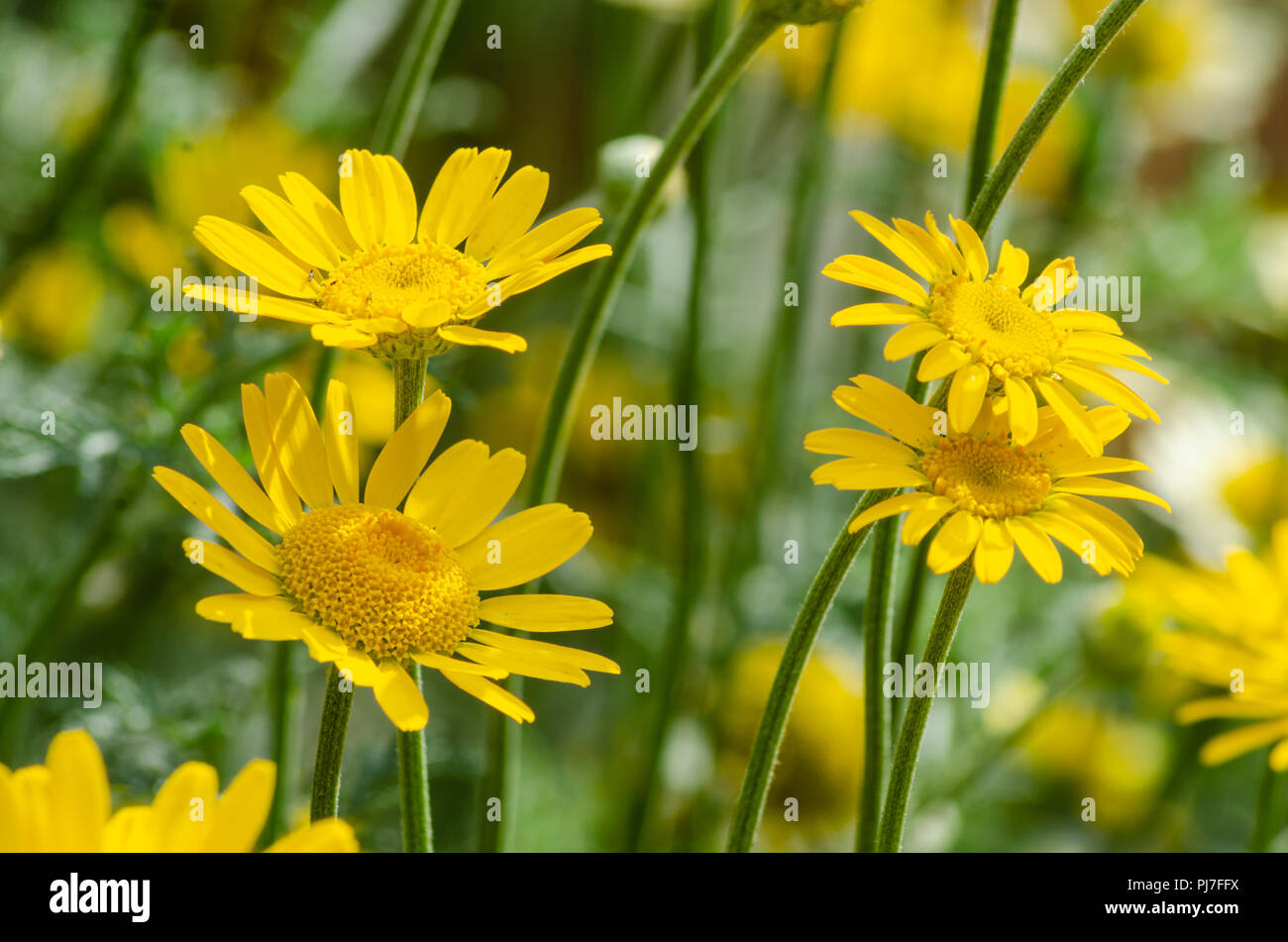 a-close-up-view-of-yellow-anthemis-flowers-PJ7FFX.jpg