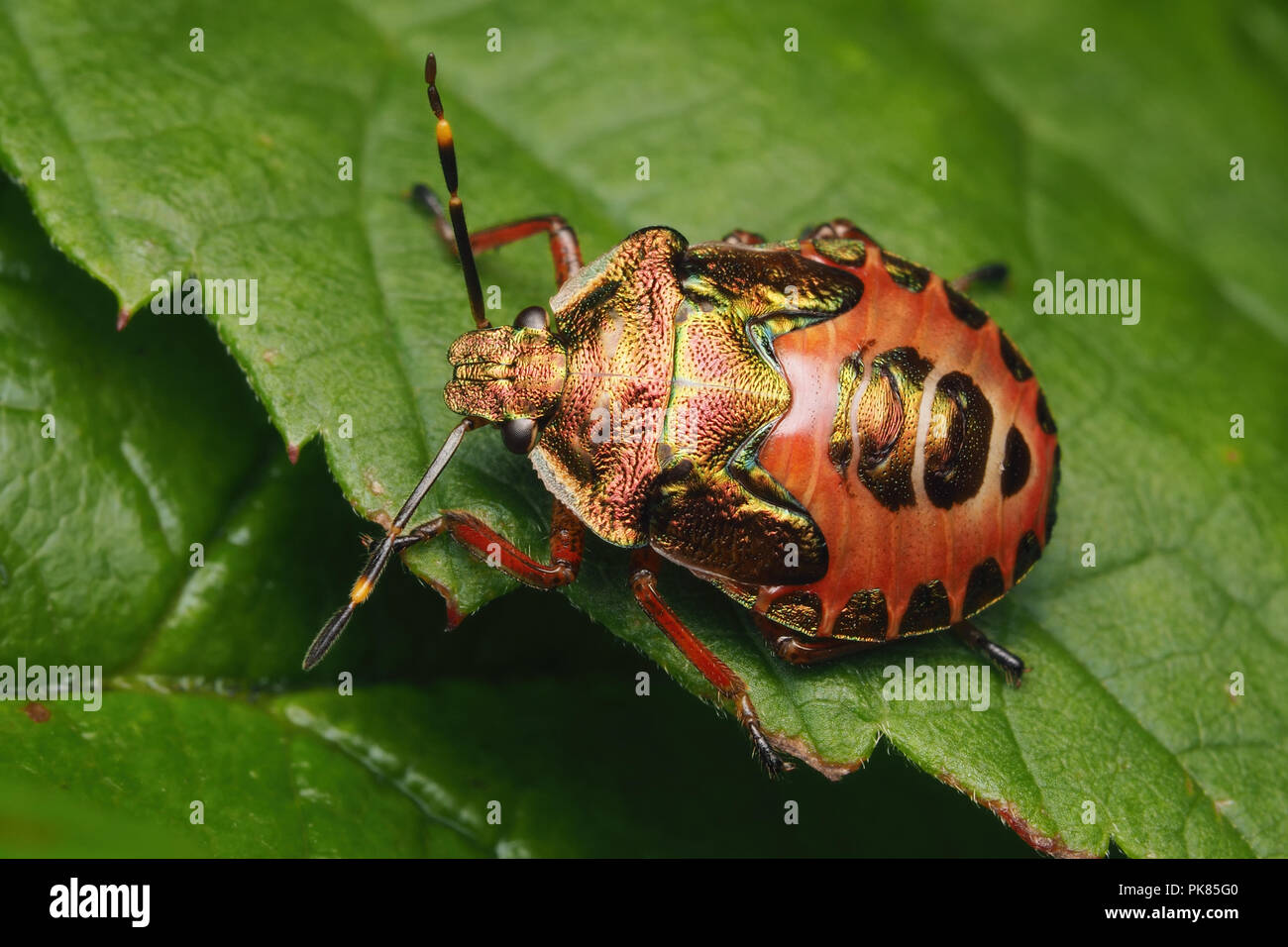 bronze-shieldbug-troilus-luridus-final-instar-nymph-on-bramble-tipperary-ireland-PK85G0.jpg