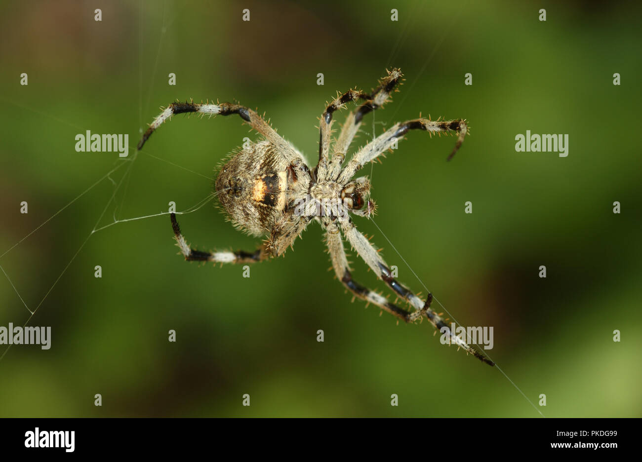 Common garden spider spinning its web, Western Australia Stock Photo