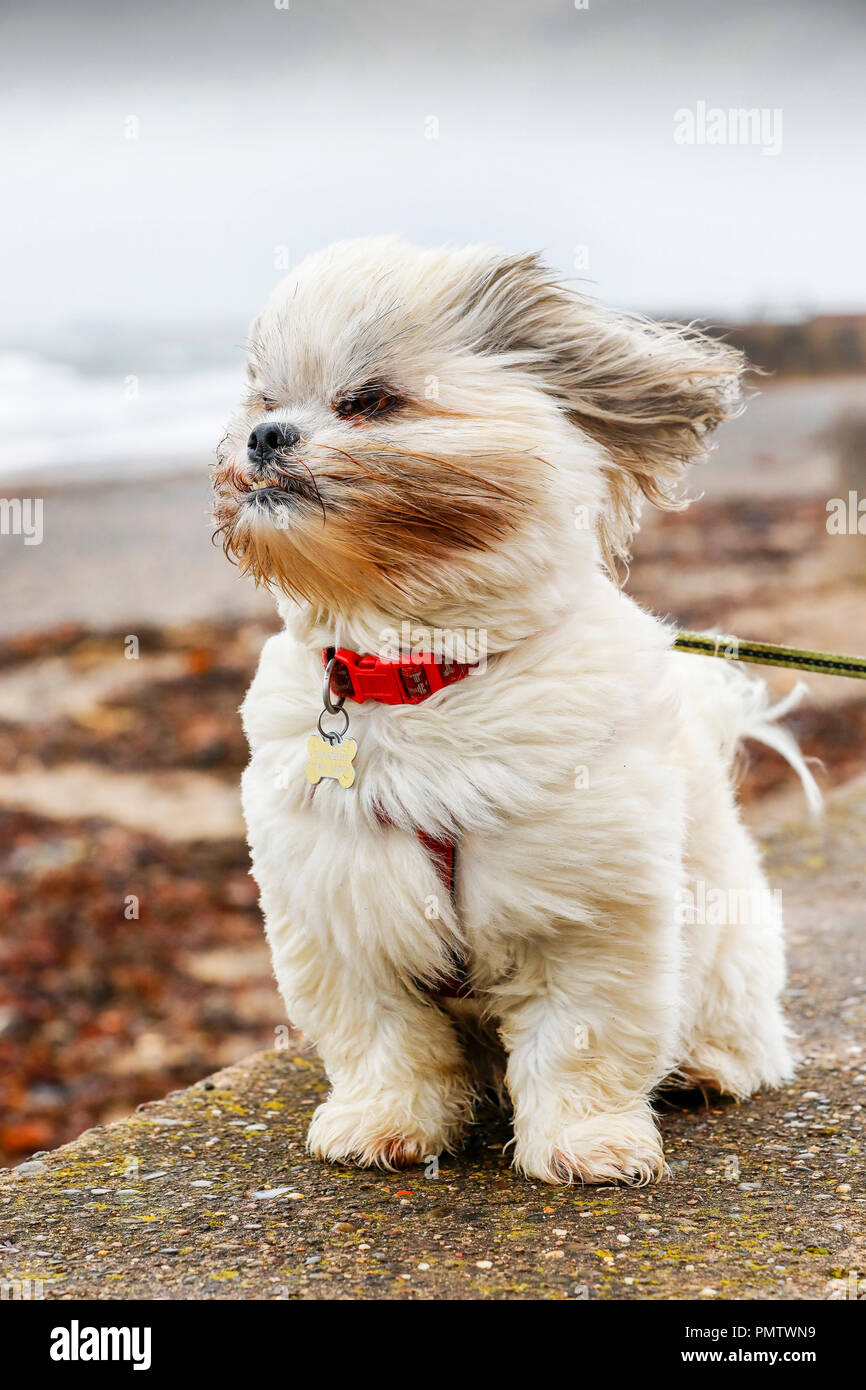 Prestwick, UK. 19th September 2018. The severe gales, high winds and rain doesn't seem to trouble BAILEY, a 4 year old Laso Apso from Prestwick, as he takes his morning stroll along the promenade. The storm, named Storm Ali is battering Northern Ireland the west coast of Scotland bringing high tides, heavy rain and widespread structural damage. Credit: Findlay/Alamy Live News Stock Photo