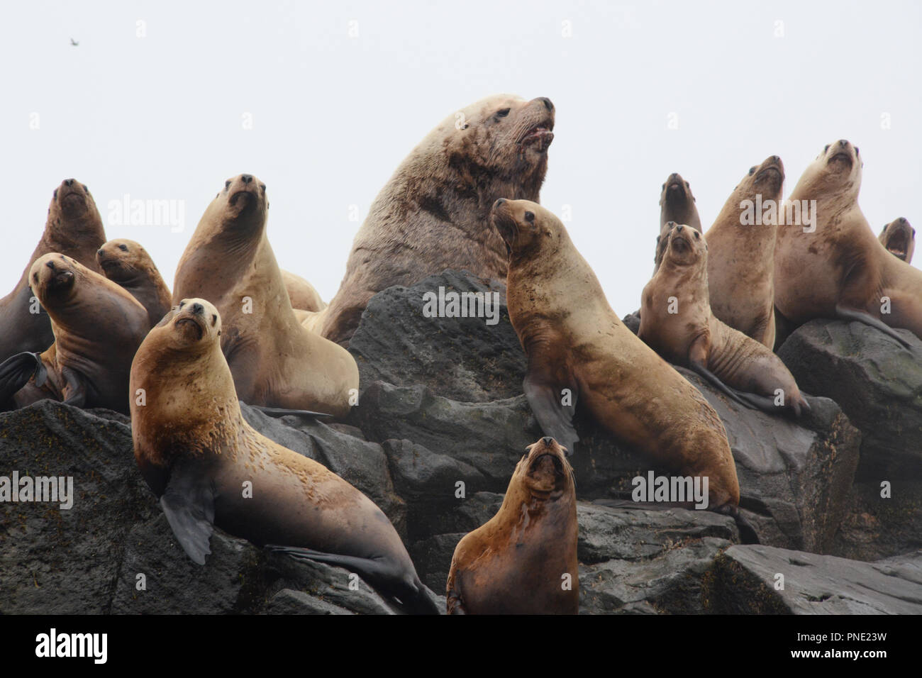 A colony of steller sea lions, including a large male (bull), on a rookery during breeding season, in the Aleutian Islands, Bering Sea, Alaska. Stock Photo