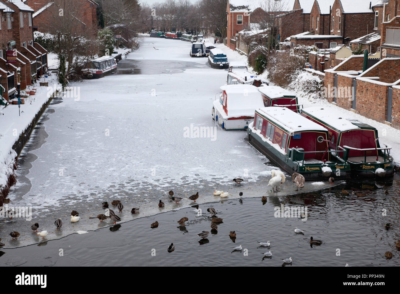 birds-and-narrowboats-on-the-frozen-bridgewater-canal-at-stockton-heath-cheshire-PP349N.jpg