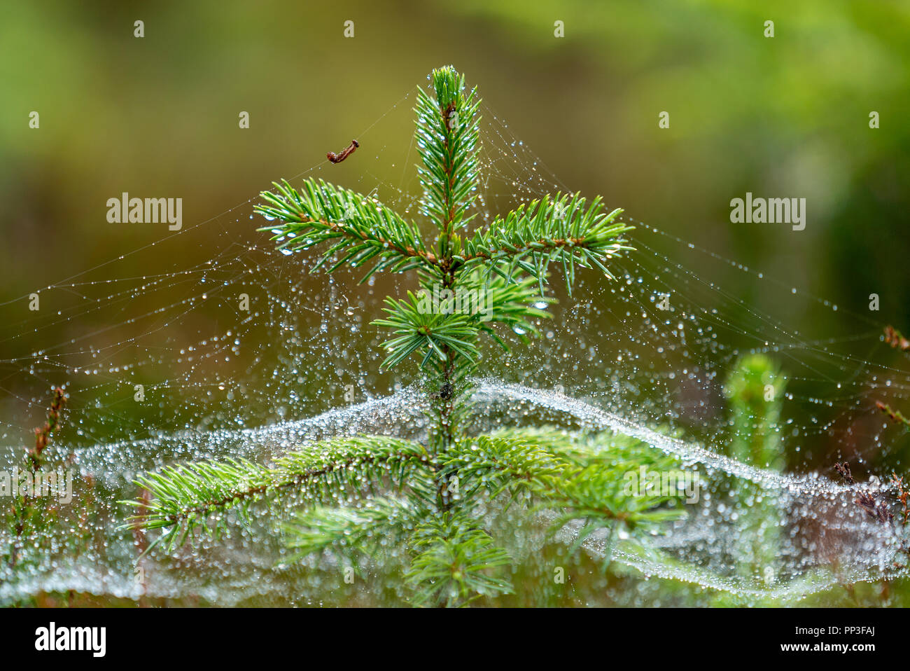 Caterpillar Carry Water Drops on Silk Line Around Christmas TreeStock Photo
