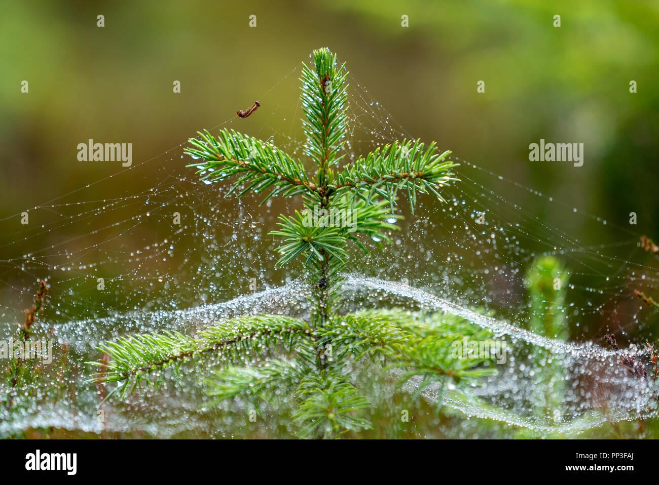 Caterpillar Carry Water Drops on Silk Line Around Christmas TreeStock Photo