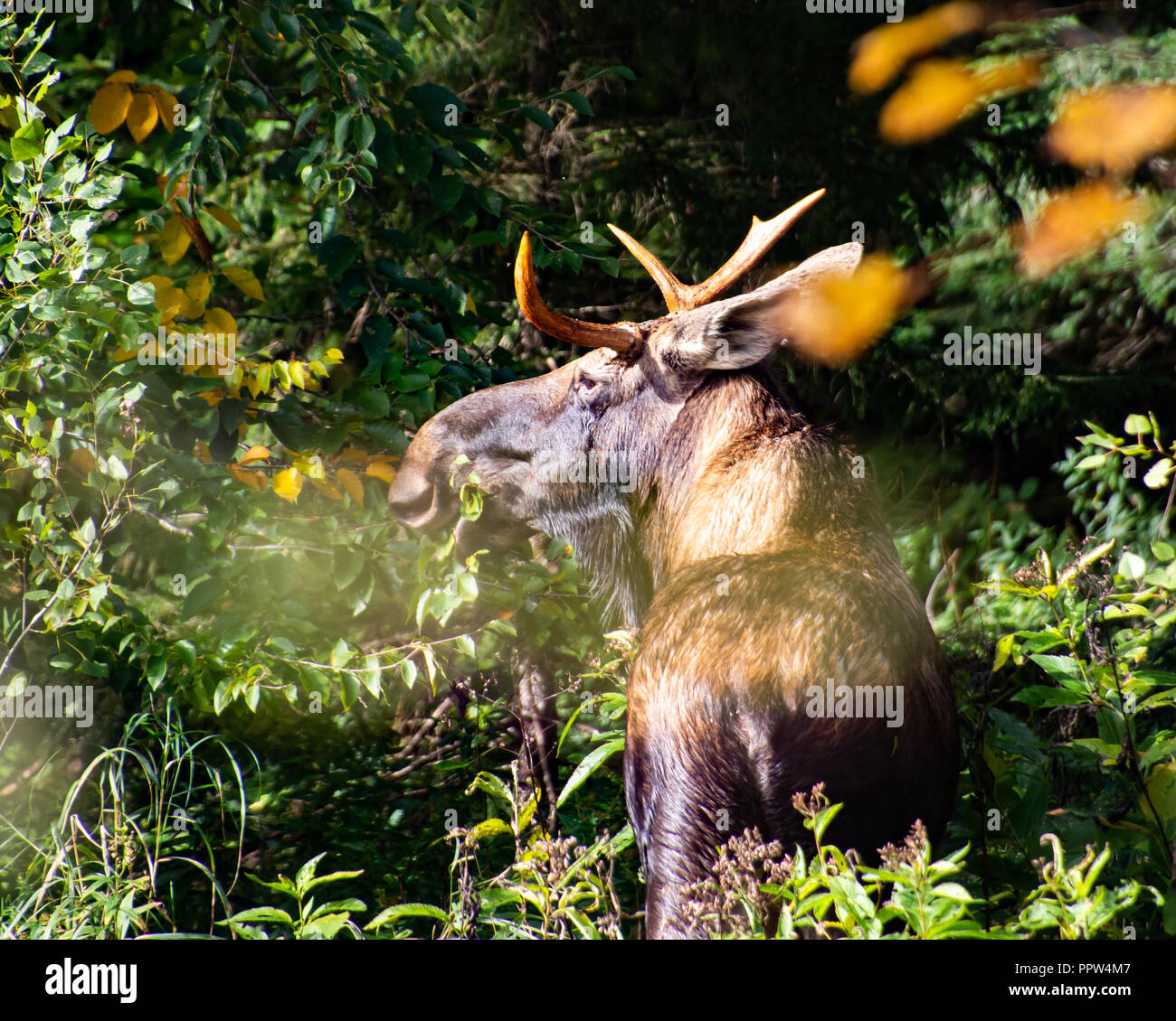 an-elusive-young-bull-moose-alces-alces-hiding-in-the-adirondack-mountains-ny-wilderness-feeding-on-vegetation-PPW4M7.jpg