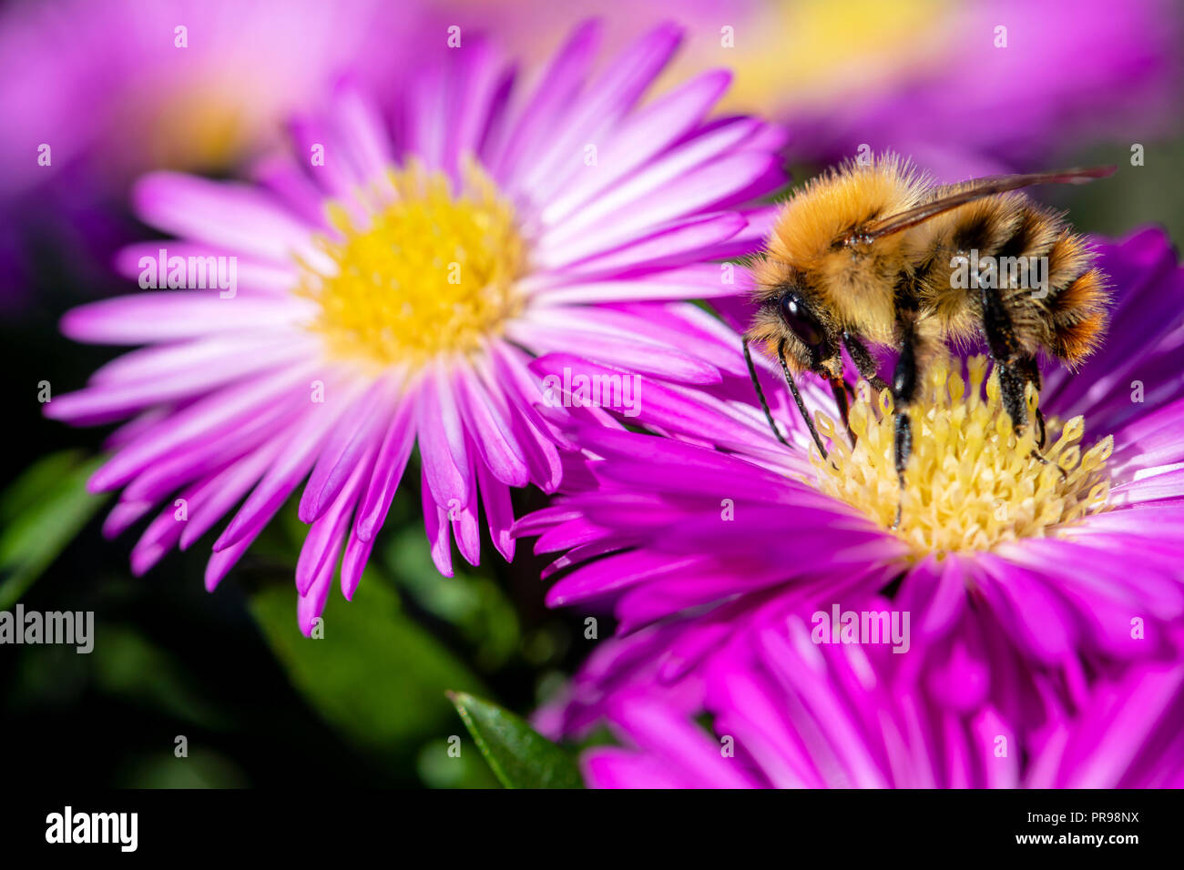 pink-aster-flowers-attracting-bees-to-feed-uk-common-carder-bee-bombus-pascuorum-PR98NX.jpg