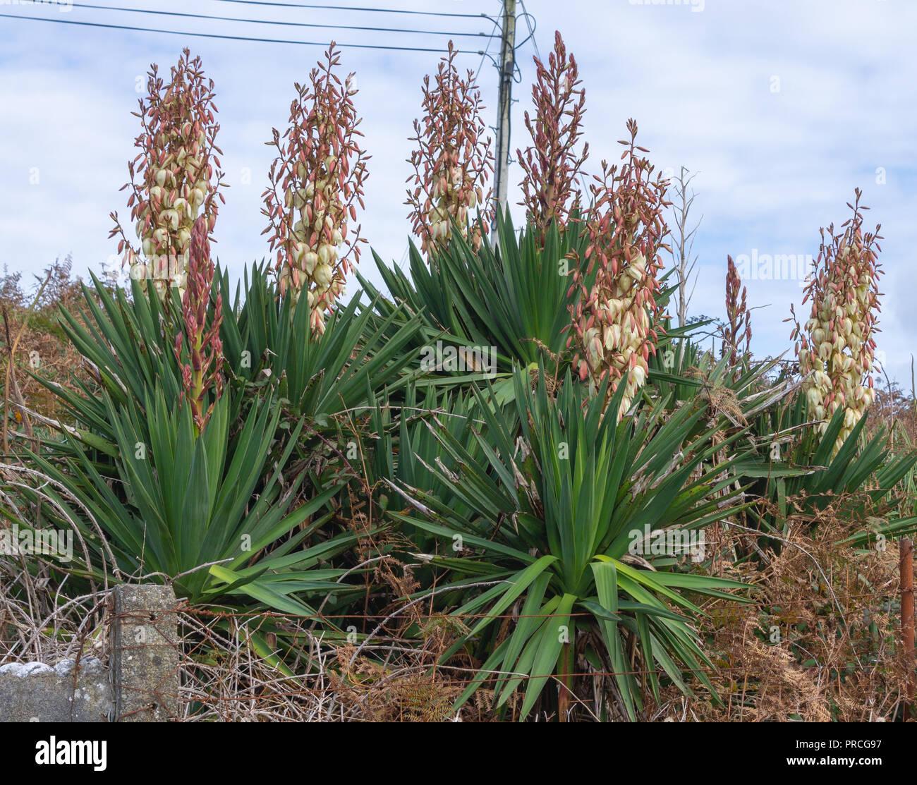 yukka-plant-flowering-growing-amongst-ferns-in-west-cork-ireland-PRCG97.jpg
