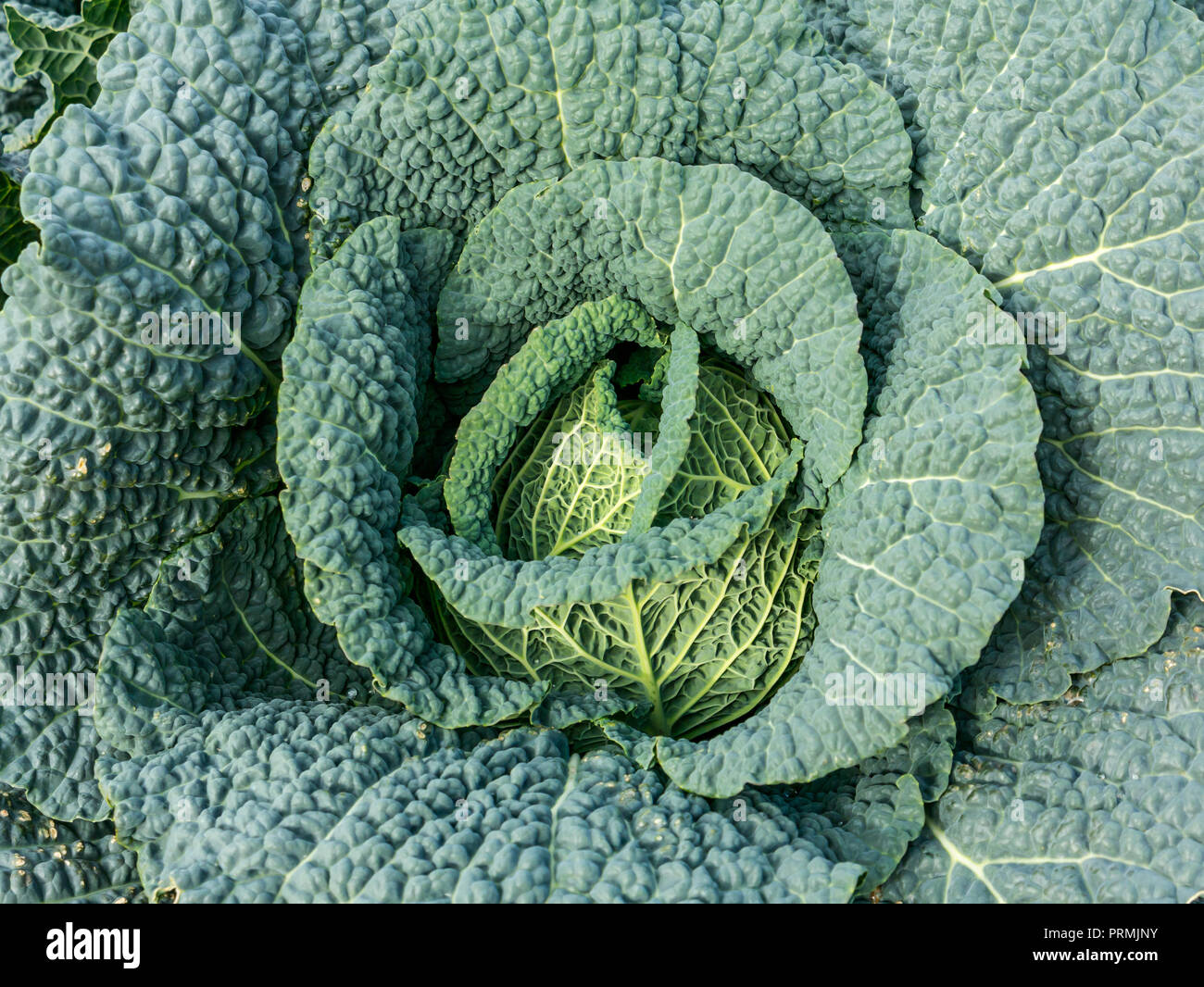 close-up-of-growing-green-cabbages-in-cr
