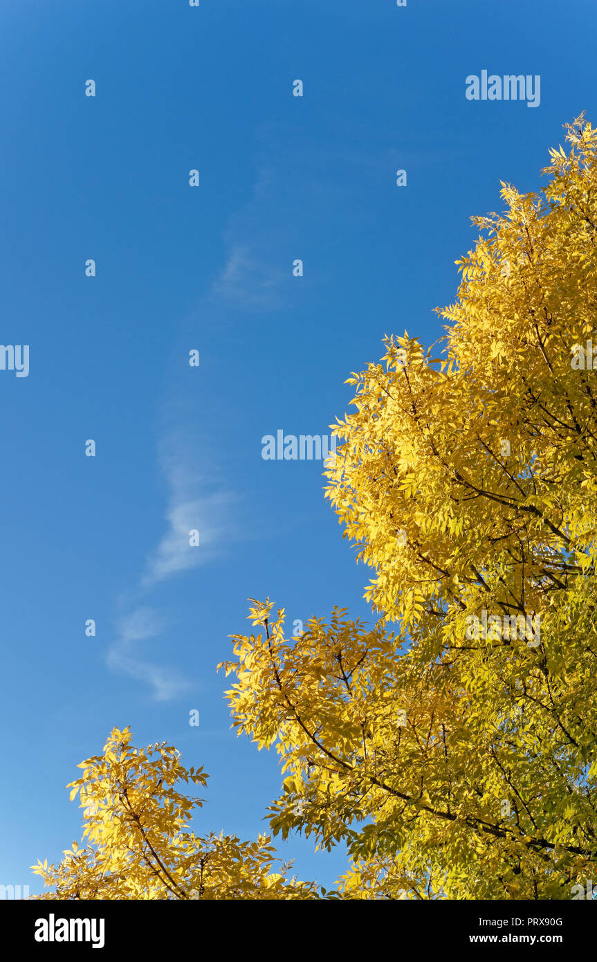 golden-leaves-of-a-deciduous-tree-in-the