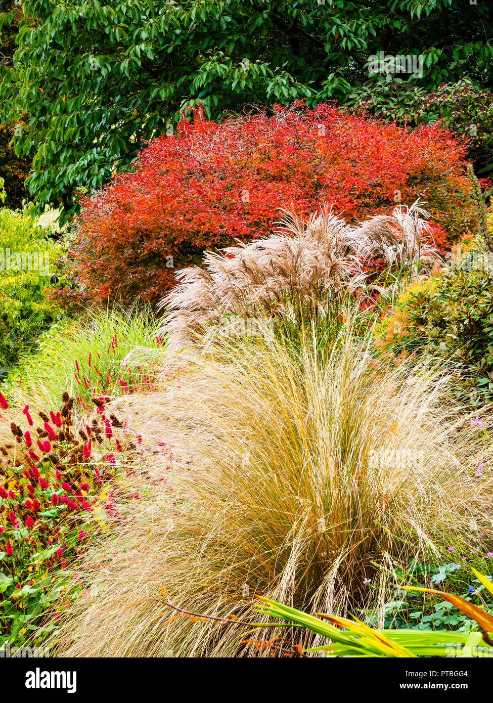 autumn-interest-at-the-garden-house-buckland-monachorum-devon-with-red-foliage-of-prunus-incisa-kojo-no-mai-behind-miscanthus-flamingo-PTBGG4.jpg