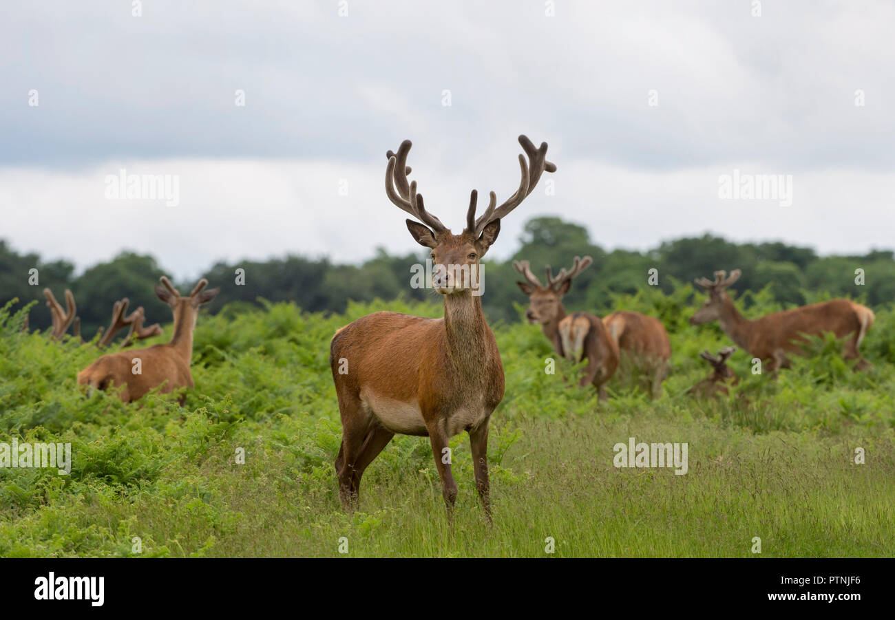 Group of Red Deer Stags Summer Richmond Park UK Stock Photo