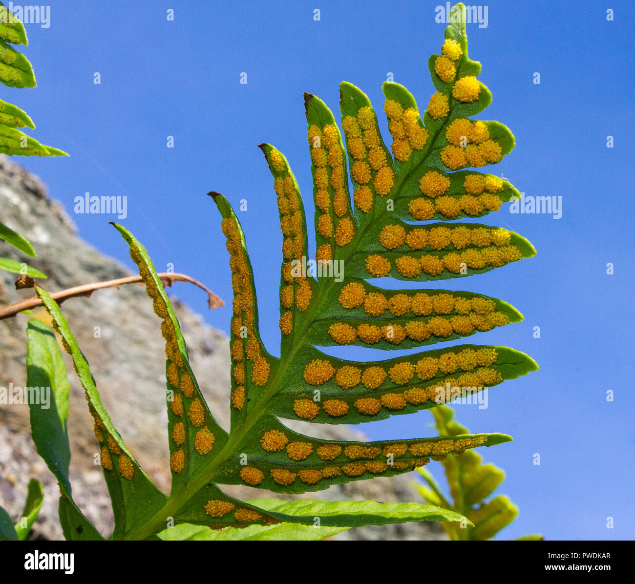 close-up-of-fern-spores-on-the-underside-of-a-fern-leaf-polypodium-cambricum-welsh-polypody-PWDKAR.jpg