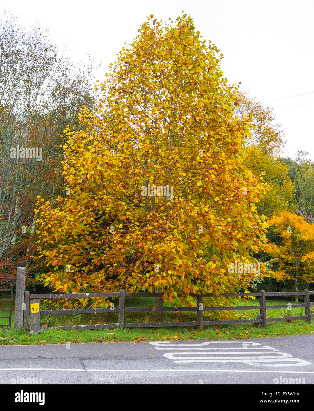 tree-with-leaves-in-autumn-colour-or-color-PX5WHA.jpg