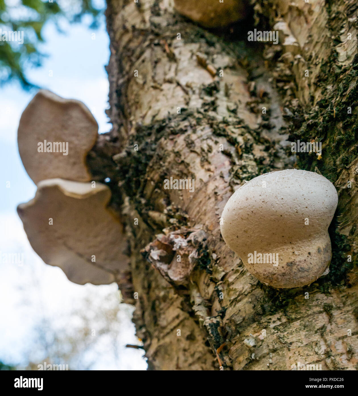 fungus-gorwing-on-dead-birch-tree-trunk-