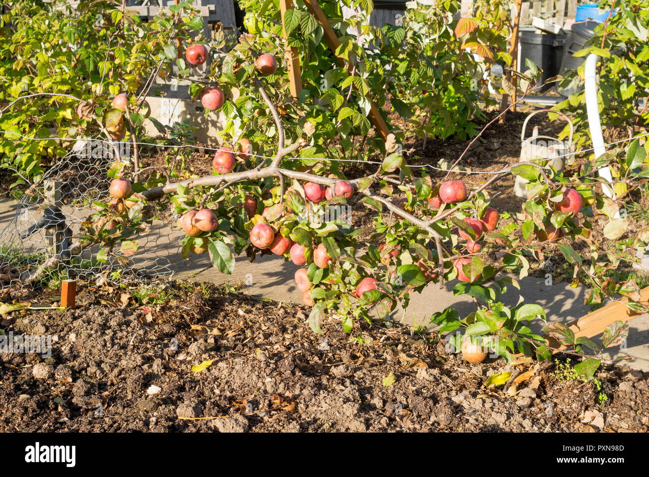 stepover-cordon-apple-tree-in-an-allotme