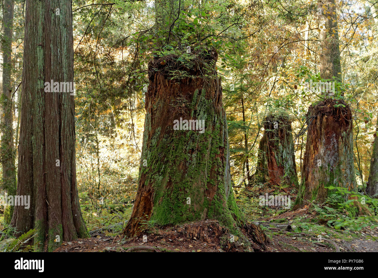 logged-primary-growth-tree-trunks-in-the