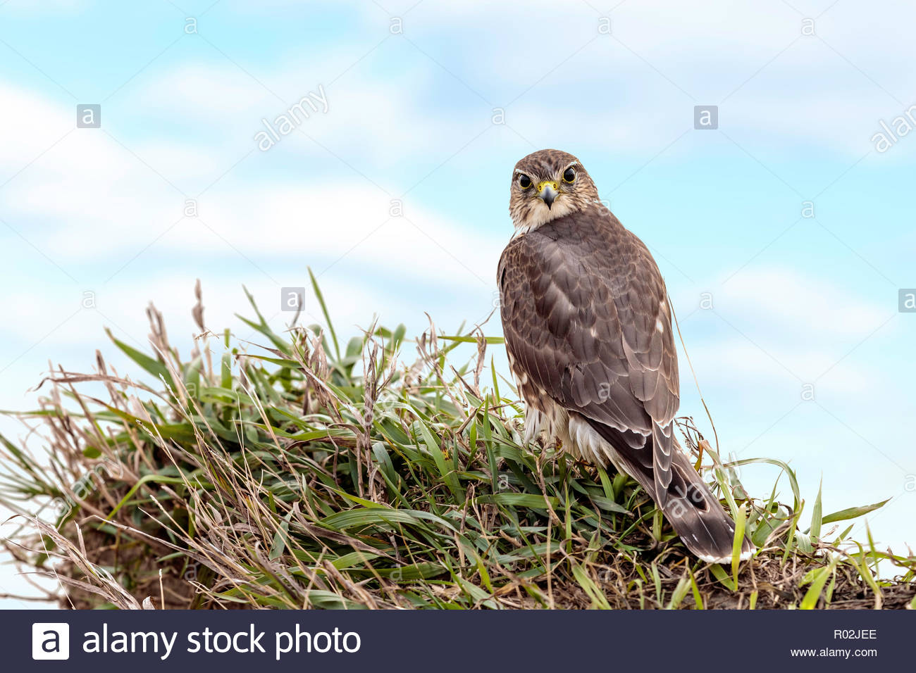Merlin Falco columbarius probably female bird of prey on the cliff top of the Scarborough Bluffs in Toronto Ontario Canada Stock Photo