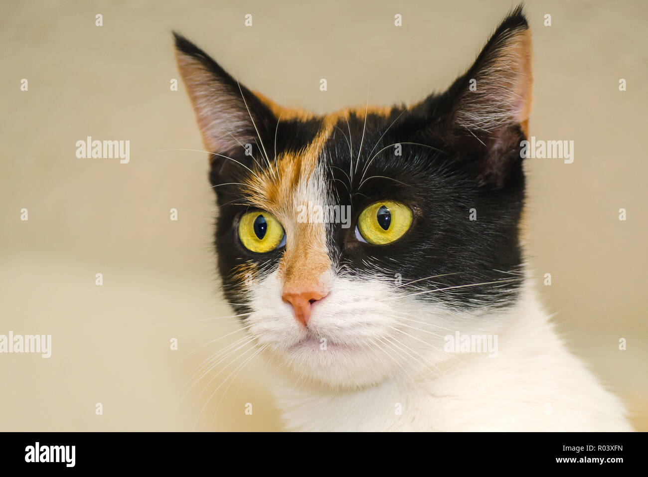 Pumpkin, a one-year-old calico kitten, is pictured, October 30, 2015, in Coden, Alabama. Stock Photo