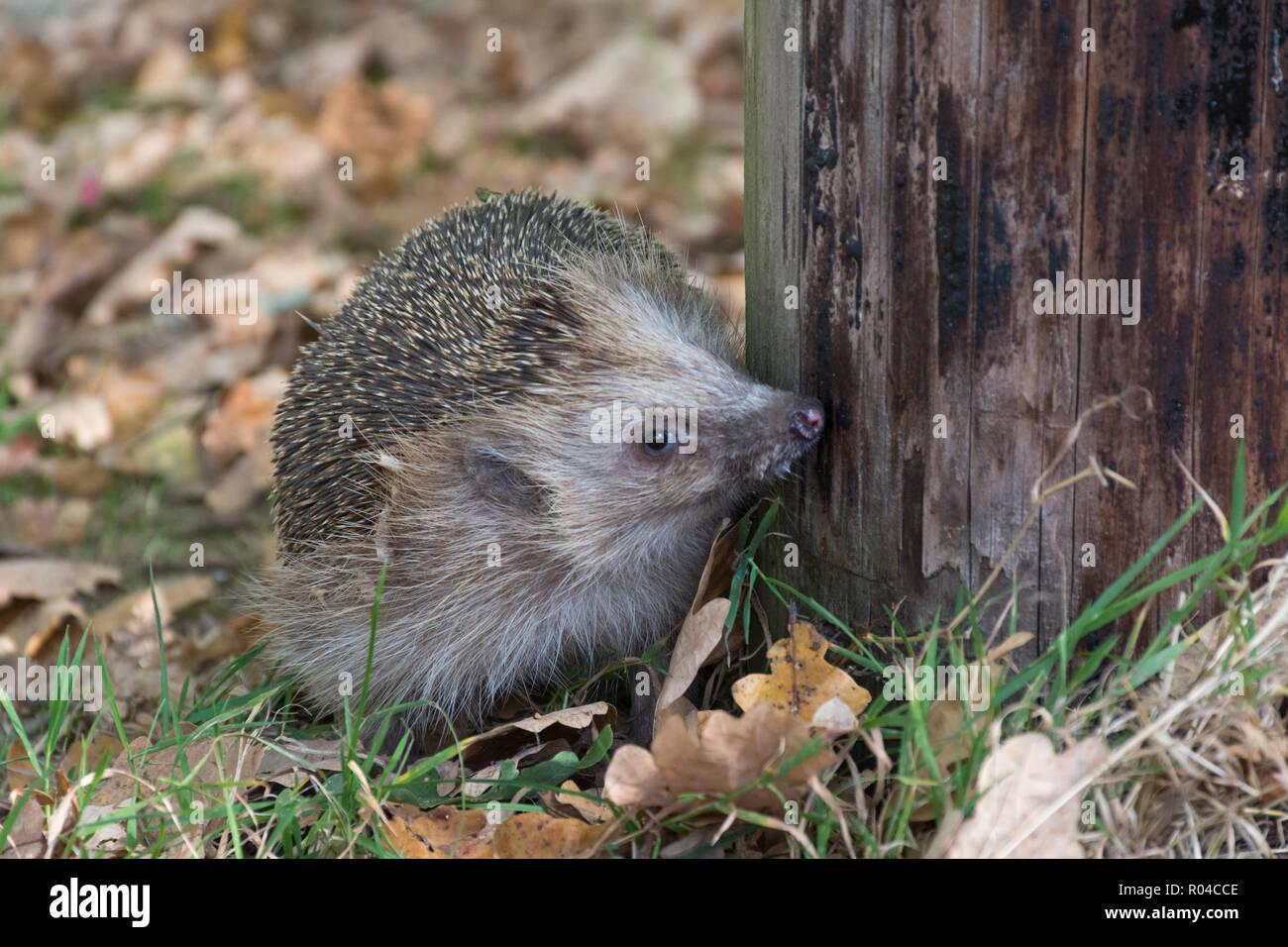 european-hedgehog-erinaceus-europaeus-R04CCE.jpg