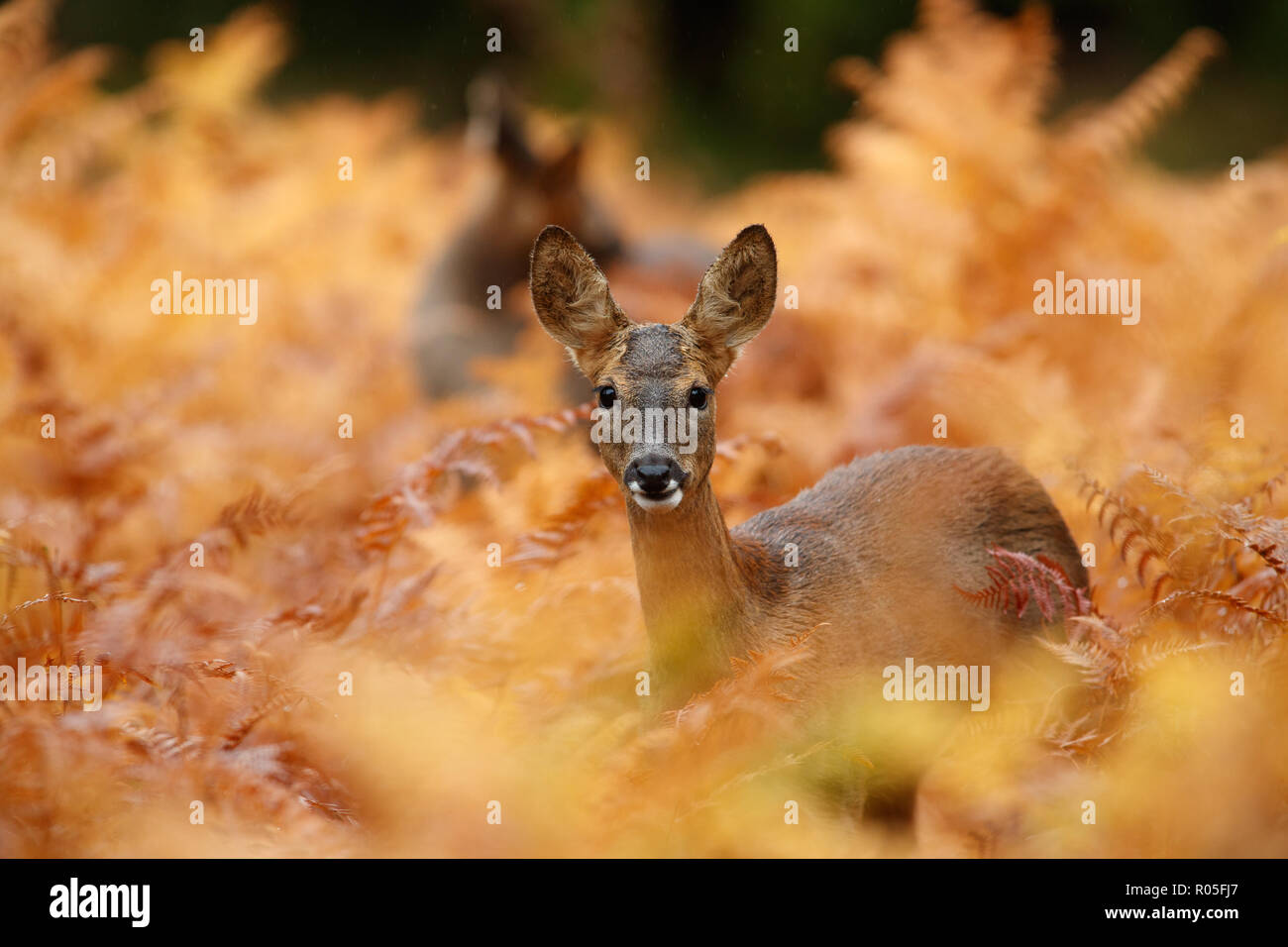 Roe deer in golden autumnal bracken Stock Photo