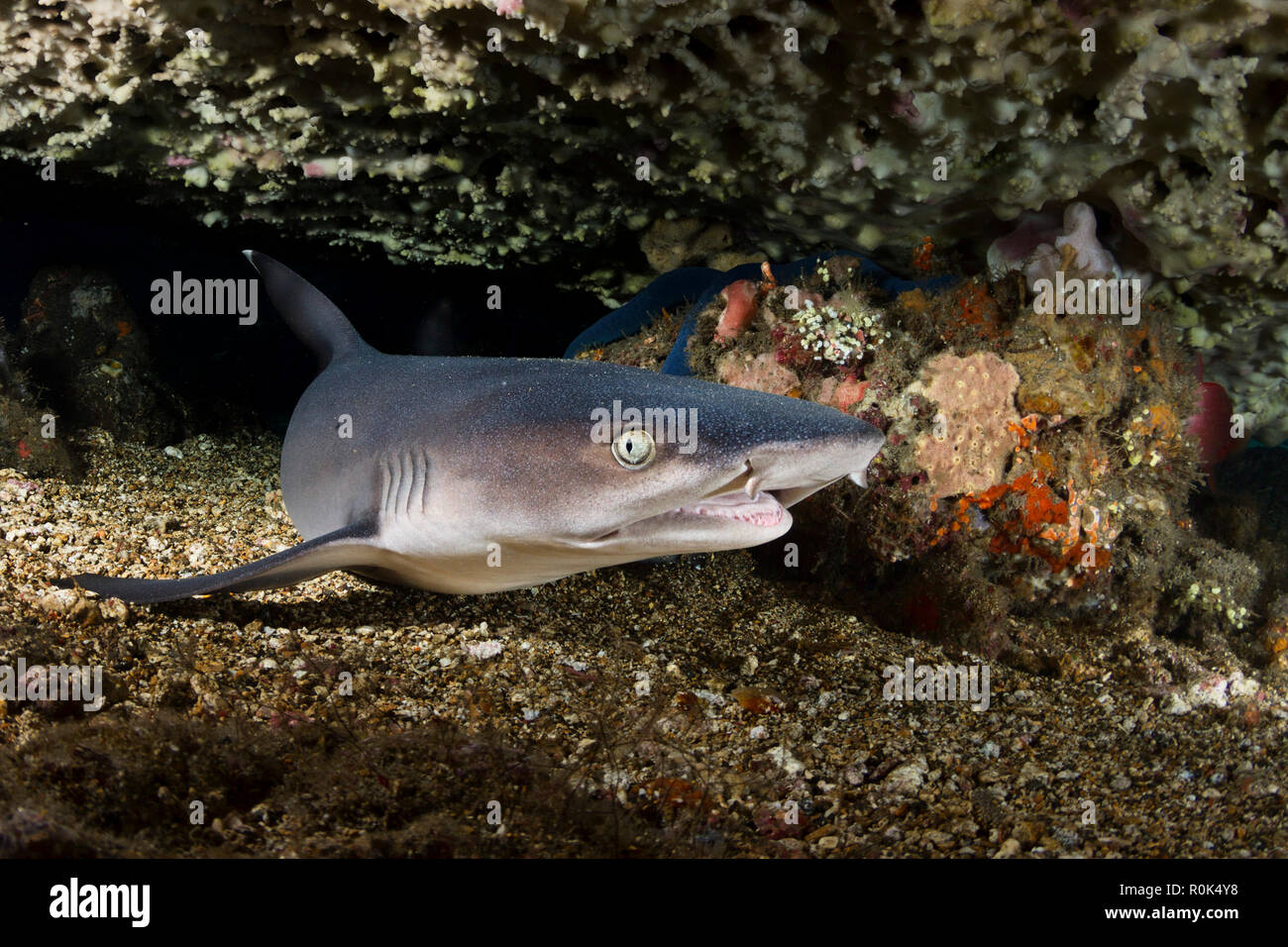 Portrait of a whitetip reef shark from Bali, Indonesia. Stock Photo