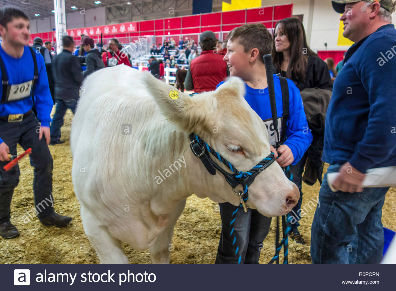 Beef cattle competition at the Royal Agricultural Winter Fair in Toronto Ontario Canada.Stock Photo