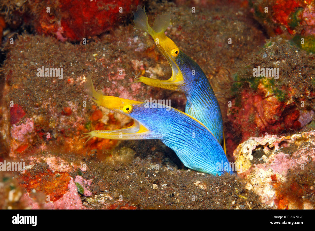 two-blue-ribbon-eels-rhinomuraena-quaesita-sharing-the-same-burrow-tulamben-bali-indonesia-bali-sea-indian-ocean-R0YNGC.jpg