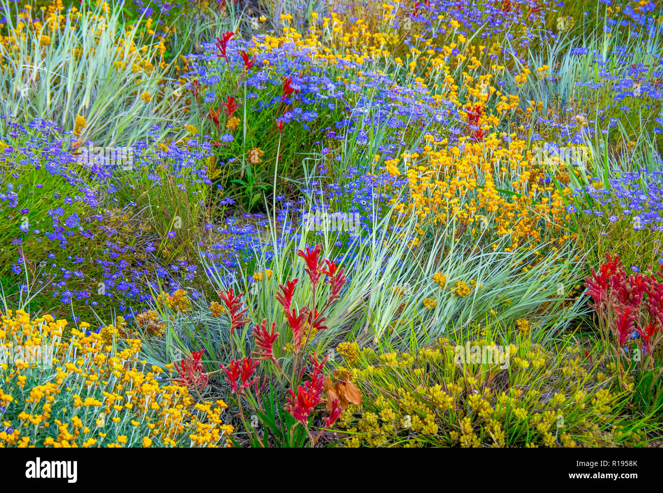 flowering-wildflowers-on-display-in-kings-park-botanical-gardens-perth-western-australia-R1958K.jpg