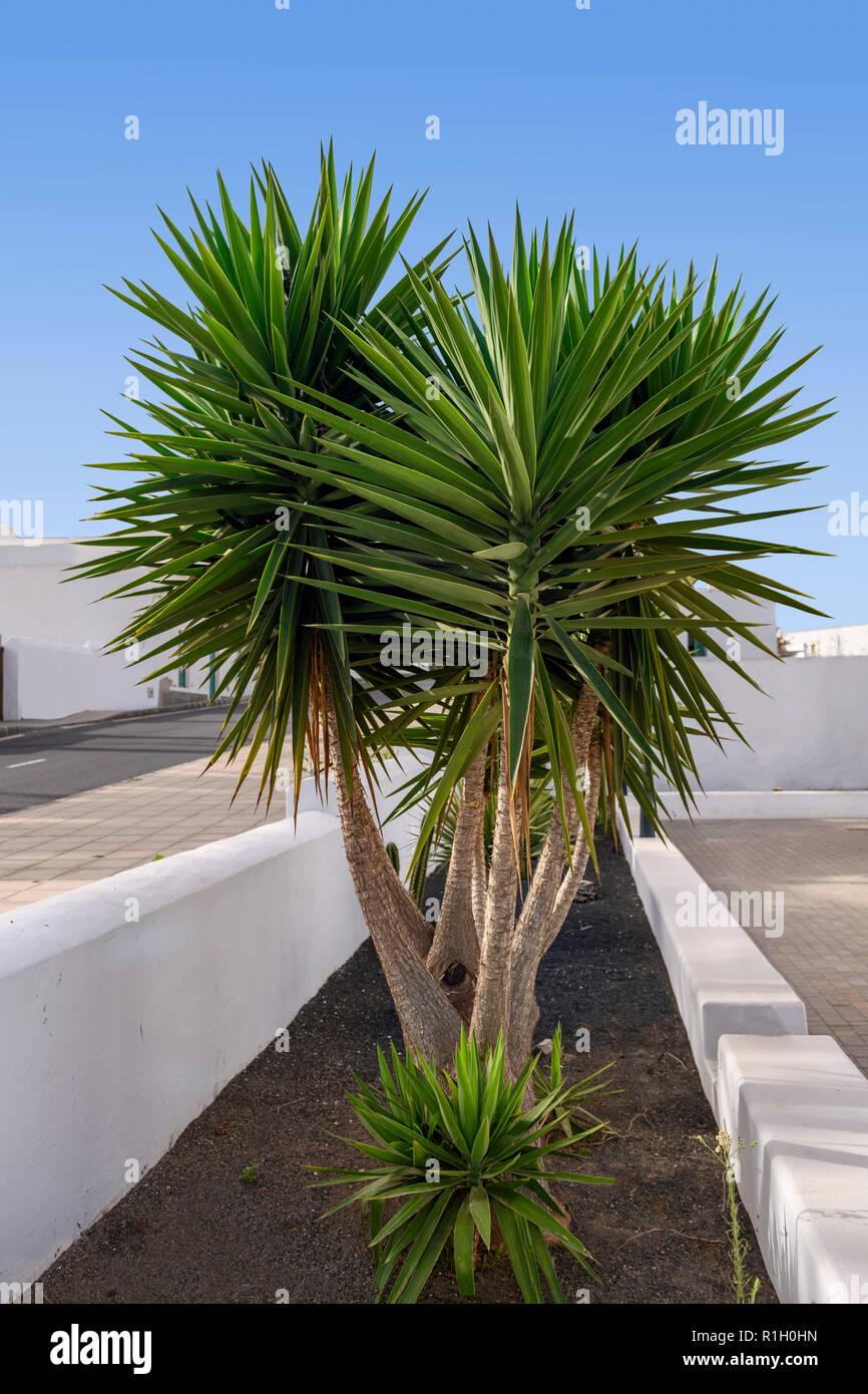 multi-stemmed-yucca-plant-R1H0HN.jpg