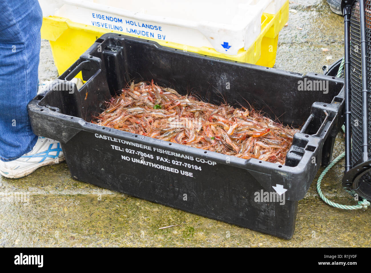 castletownshend-west-cork-ireland-november-13th-2018-despite-the-recent-storms-leaving-high-seas-and-miserable-weather-the-local-shrimp-fishermen-still-have-get-the-catch-in-this-fine-catch-of-fresh-shrimp-will-be-graded-processed-and-frozen-locally-then-shipped-off-to-spain-for-their-housewives-to-enjoy-adding-to-the-reputation-of-the-irish-fishing-industry-to-produce-a-world-class-product-credit-aphperspectivealamy-live-news-R1JY0F.jpg