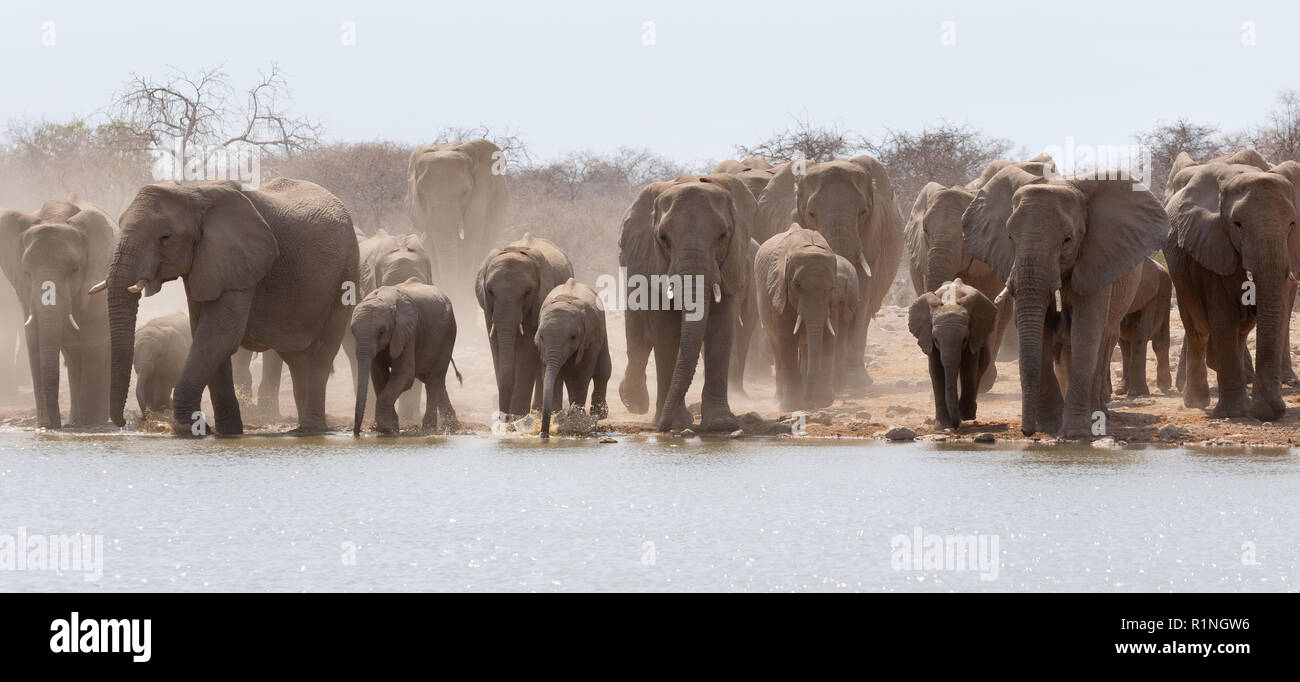 elephant-panorama-a-herd-of-african-elephants-loxodonta-africana-at-a-waterhole-etosha-national-park-namibia-africa-R1NGW6.jpg