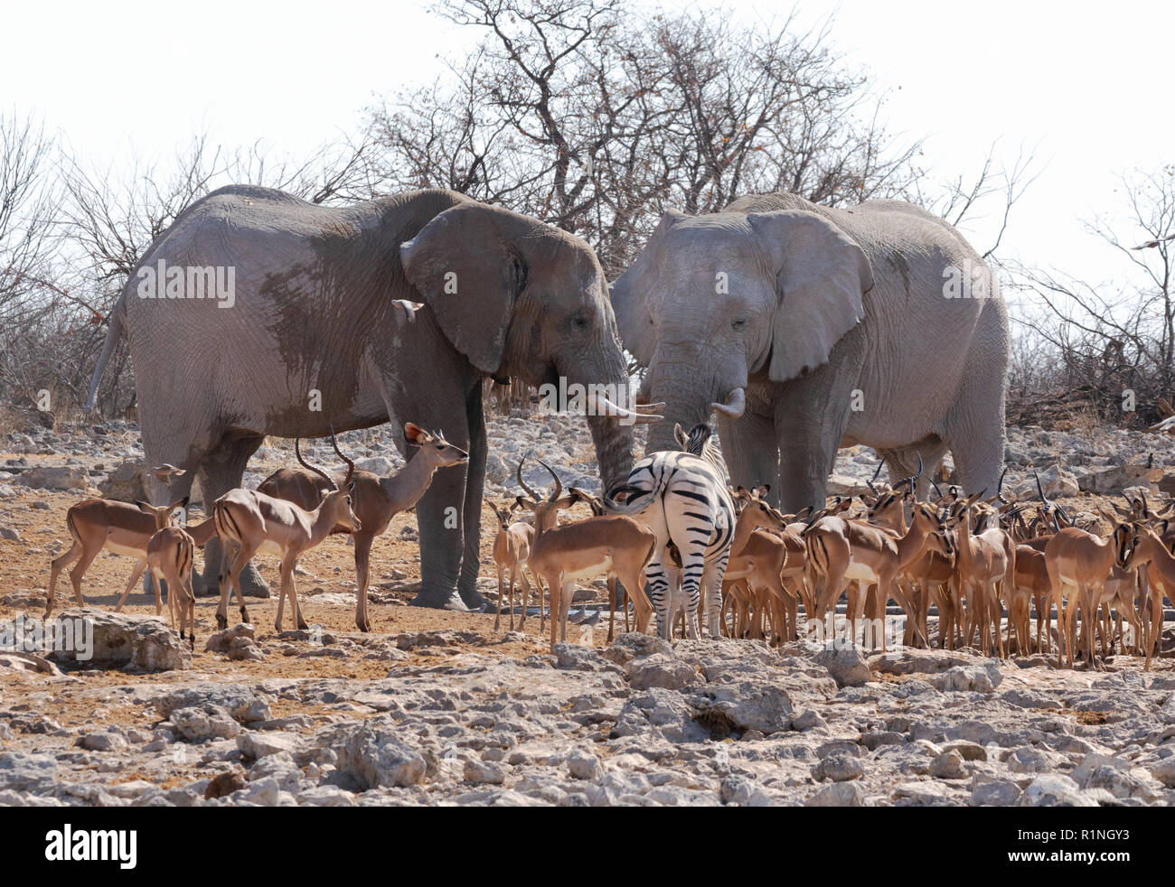 africa-wildlife-a-pair-of-adult-african-elephant-holding-court-with-a-variety-of-animals-etosha-national-park-namibia-africa-R1NGY3.jpg