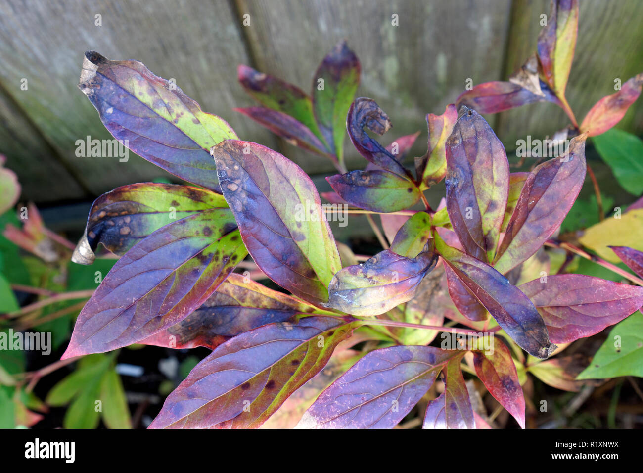 close-up-of-peony-plant-leaves-infected-