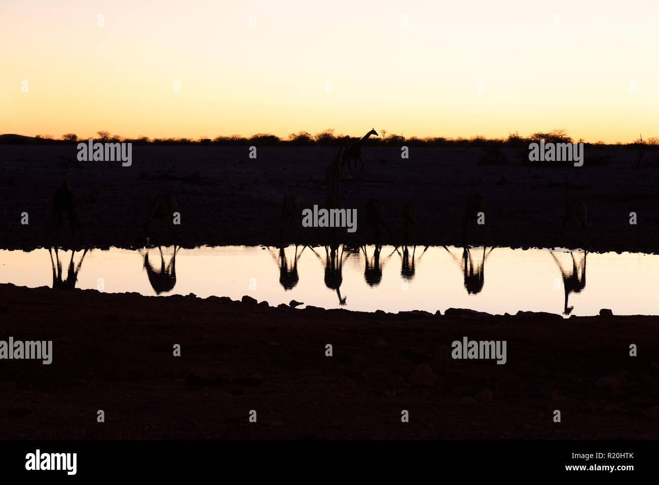 namibia-travel-reflections-of-a-herd-of-giraffes-drinking-from-a-waterhole-at-sunset-okaukuejo-etosha-national-park-namibia-africa-R20HTK.jpg