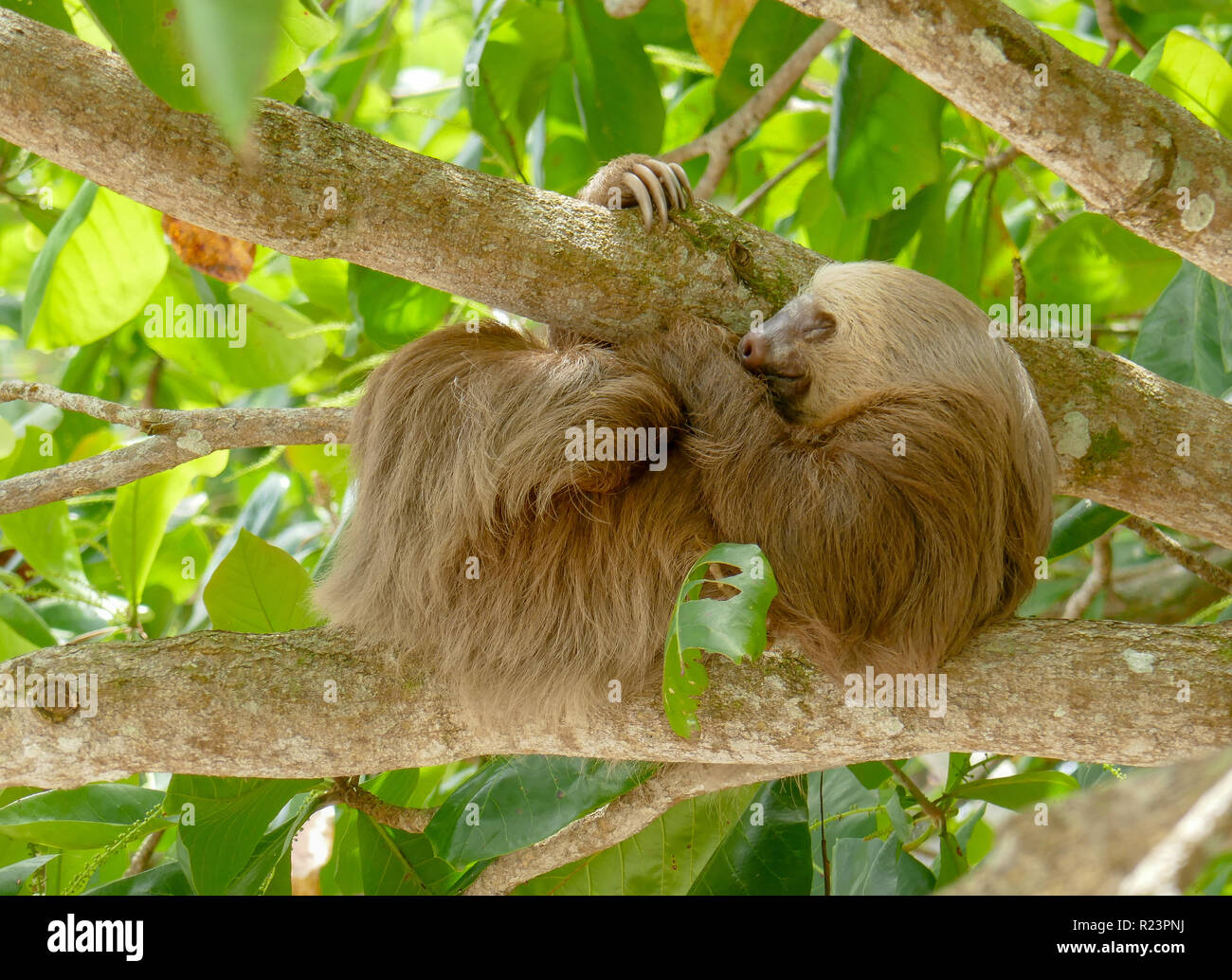 balled-up-sloth-hanging-in-mango-tree-sleeping-scratching-leg-R23PNJ.jpg
