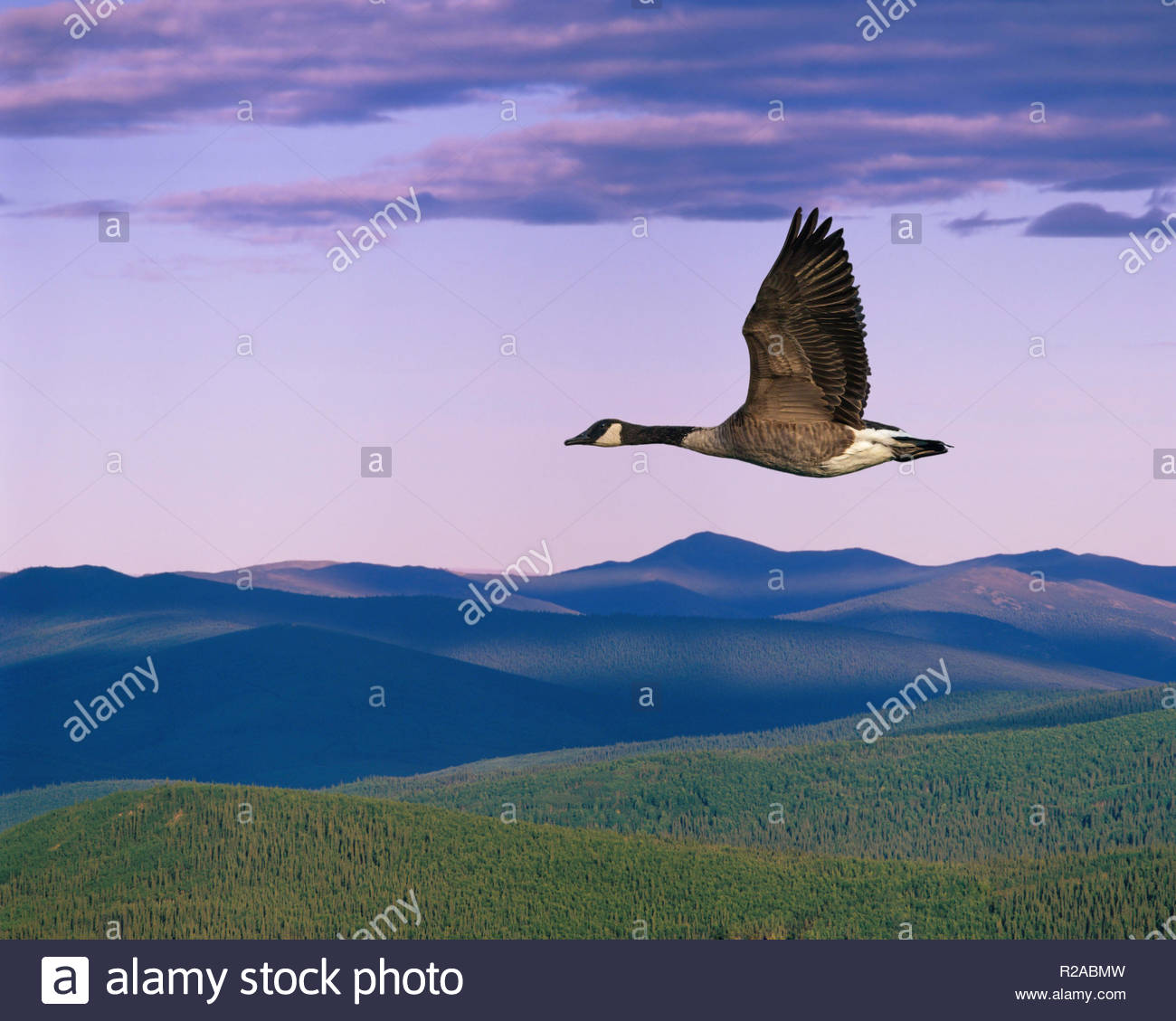 Canada Goose flying over wilderness forest and mountains near Dawson City Yukon Territory CanadaStock Photo
