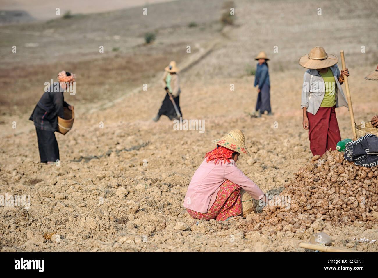 women-harvesting-taro-root-colocasia-esculenta-in-shan-state-myanmar-R2K0NF.jpg